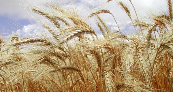 Trigo Fertilizar